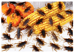 cockroaches pest bhubaneswar